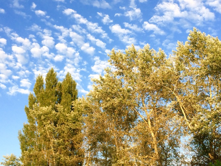 Poplars in the sun with blue sky